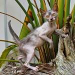 Kỳ Quặc Bốn Phương   Loài mèo biến dị giống ma sói
